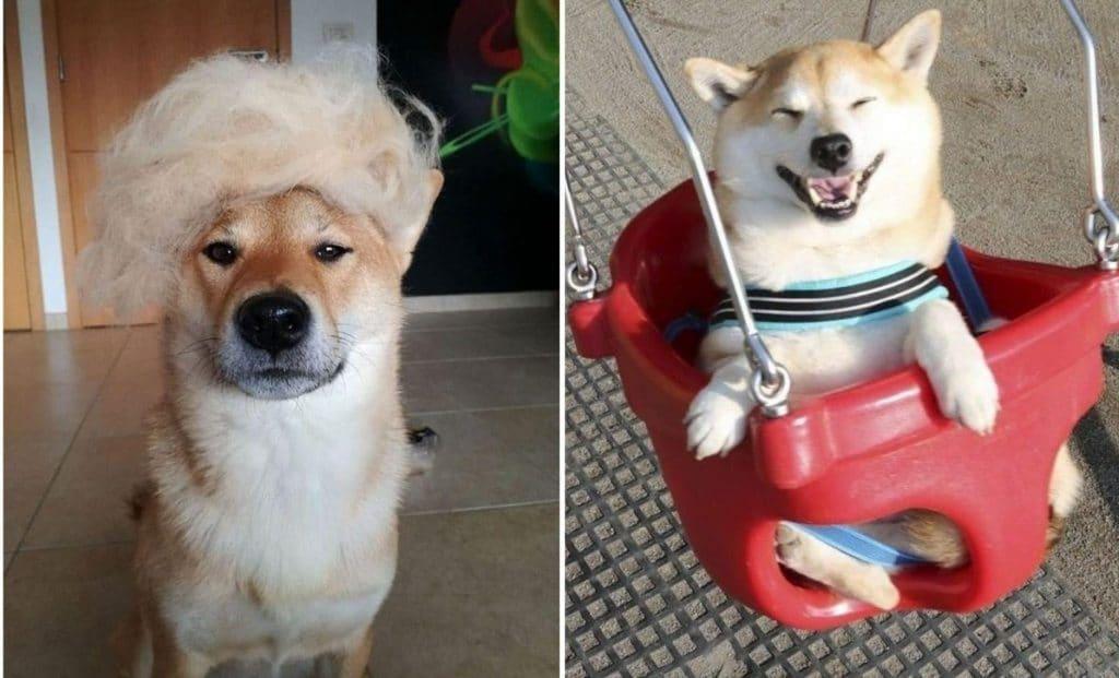 24 фото о том, что лучше Шиба Ину собаки не сыскать!