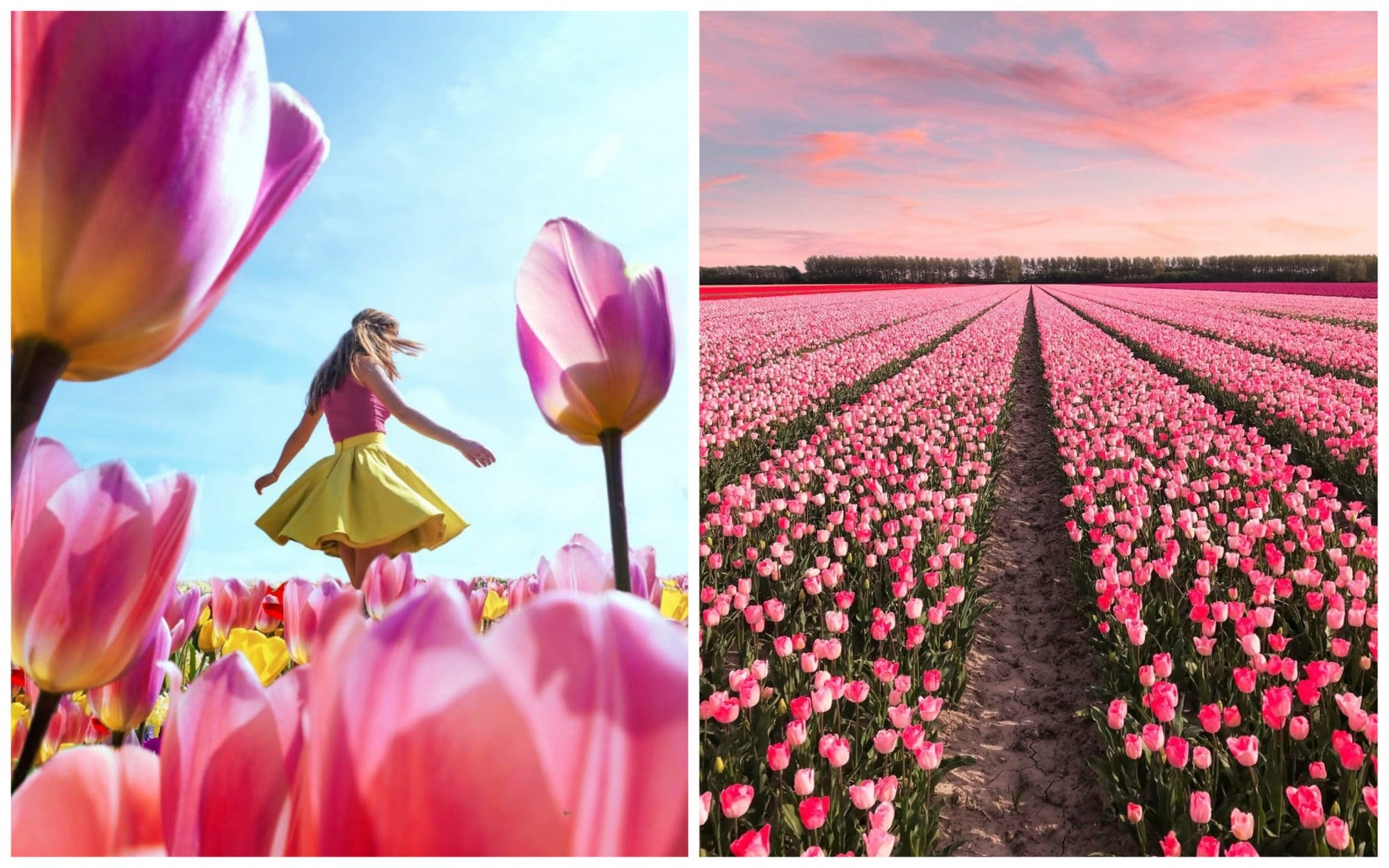 В Нидерландах зацвели 7 миллионов тюльпанов! Сказка, которую стоит увидеть!