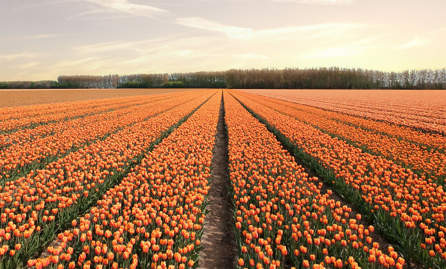 В Нидерландах зацвели 7 миллионов тюльпанов! Сказка, которую стоит увидеть! 4