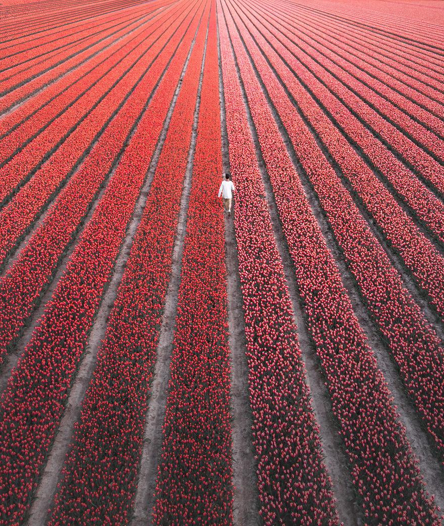 В Нидерландах зацвели 7 миллионов тюльпанов! Сказка, которую стоит увидеть! 1