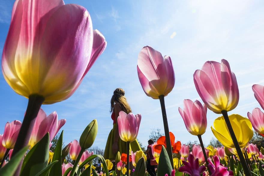 В Нидерландах зацвели 7 миллионов тюльпанов! Сказка, которую стоит увидеть! 9