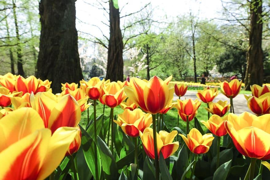 В Нидерландах зацвели 7 миллионов тюльпанов! Сказка, которую стоит увидеть! 10