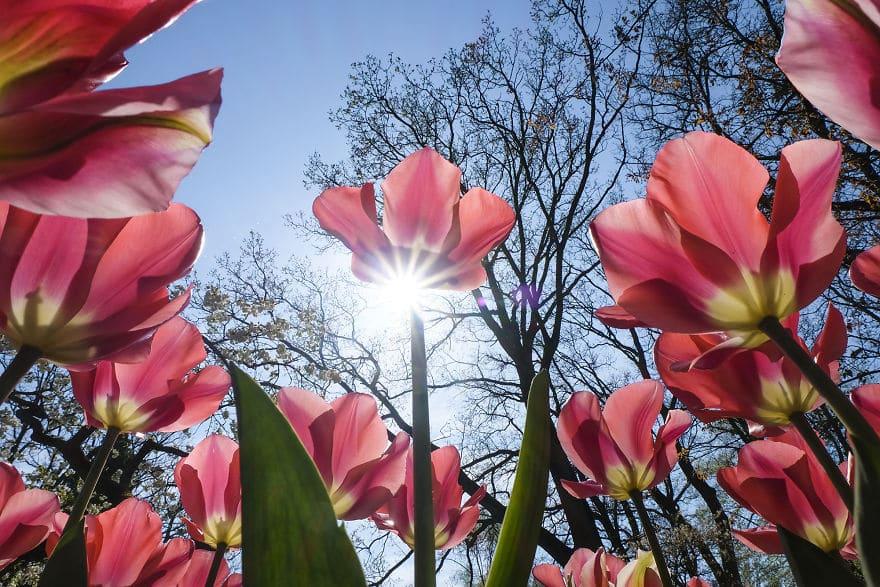 В Нидерландах зацвели 7 миллионов тюльпанов! Сказка, которую стоит увидеть! 9 рис 2