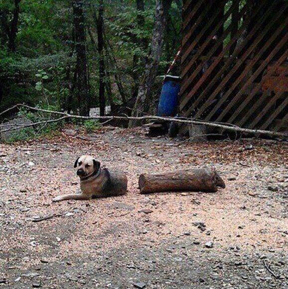 собака и полено