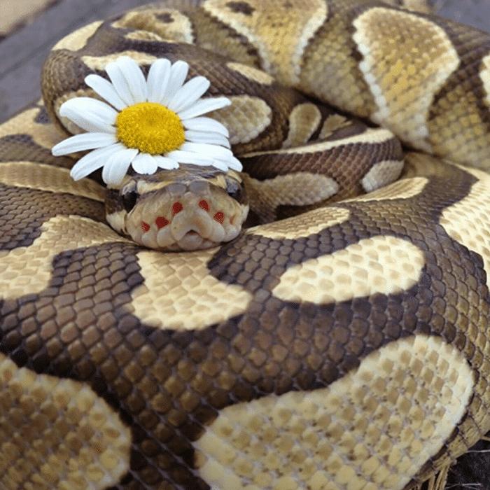 20 милых снимков змей в головных уборах! 13