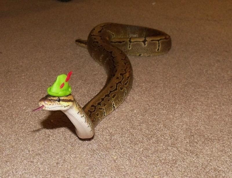 20 милых снимков змей в головных уборах! 14