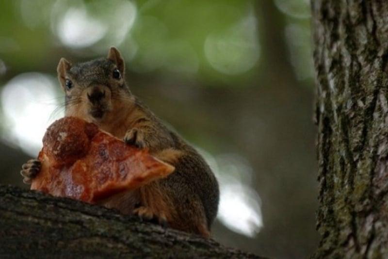 Белка ест пиццу