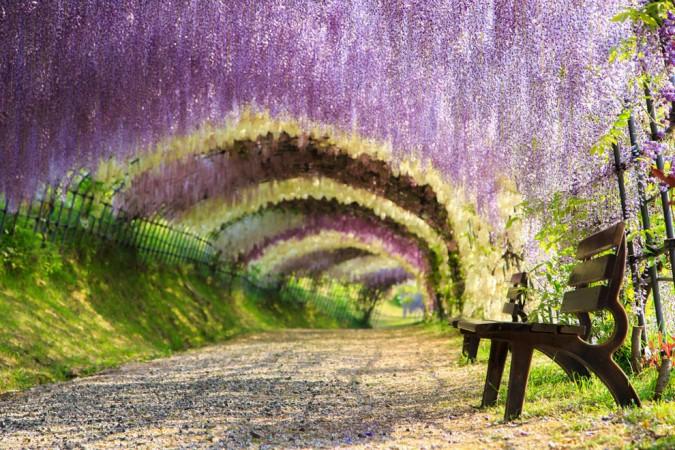 Туннель из цветов глицинии