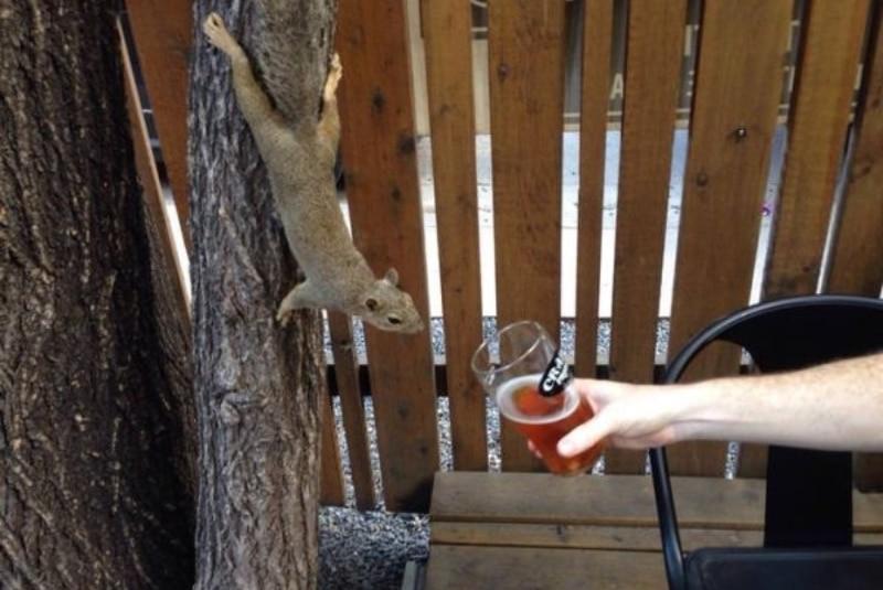 Белка пьет пиво