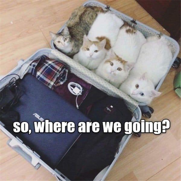 коты в чемодане