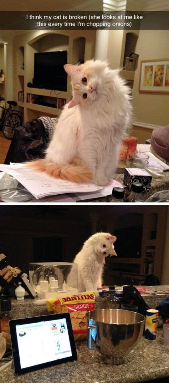 бело-рыжая кошка