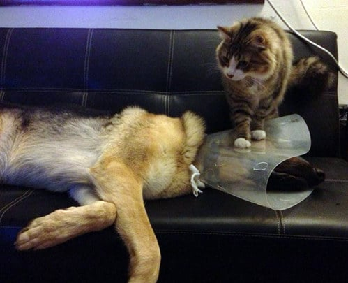 кот сидит на собаке