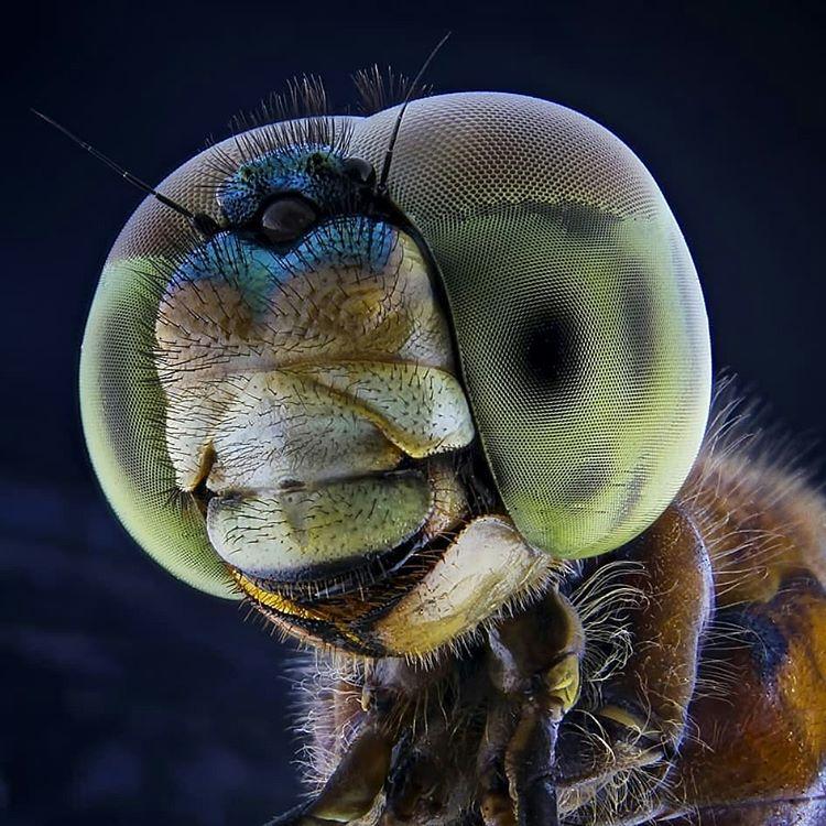 увеличенная голова мухи