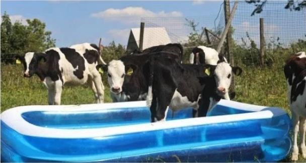 коровы в бассейне