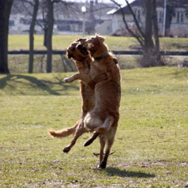 собаки танцуют