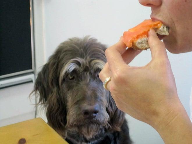 собака смотрит на хозяина, который ест