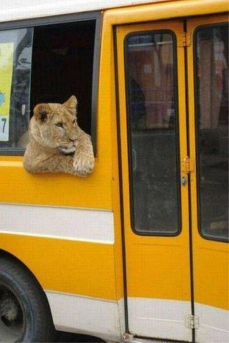 львица в автобусе
