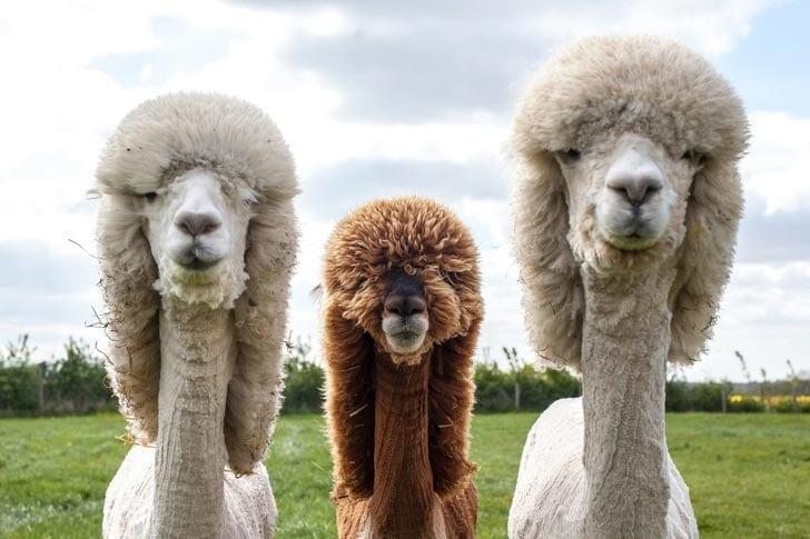 три альпаки
