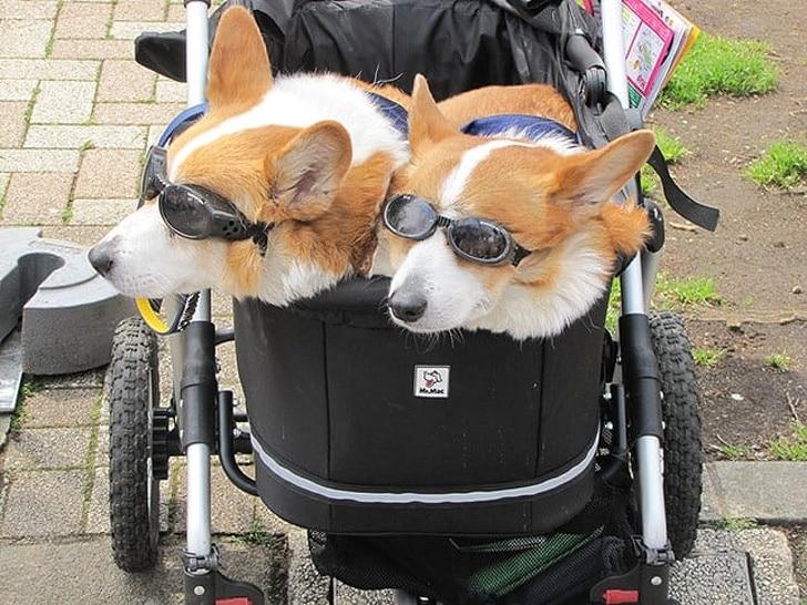 корги в коляске