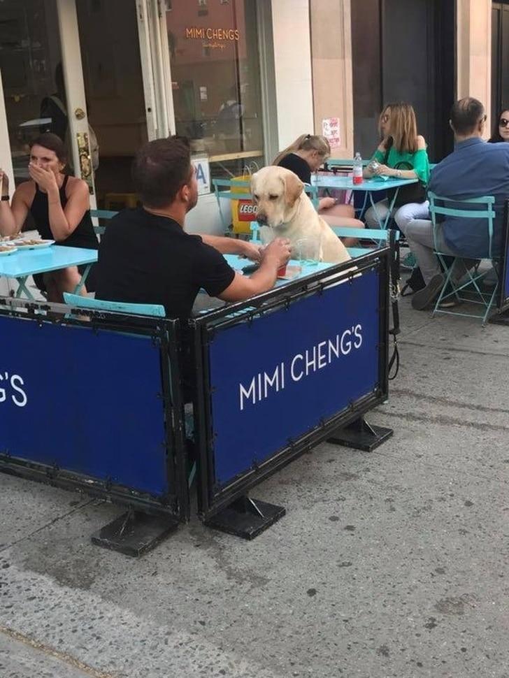 лабрадор в кафе