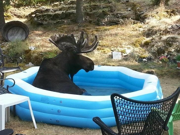лось в надувном бассейне