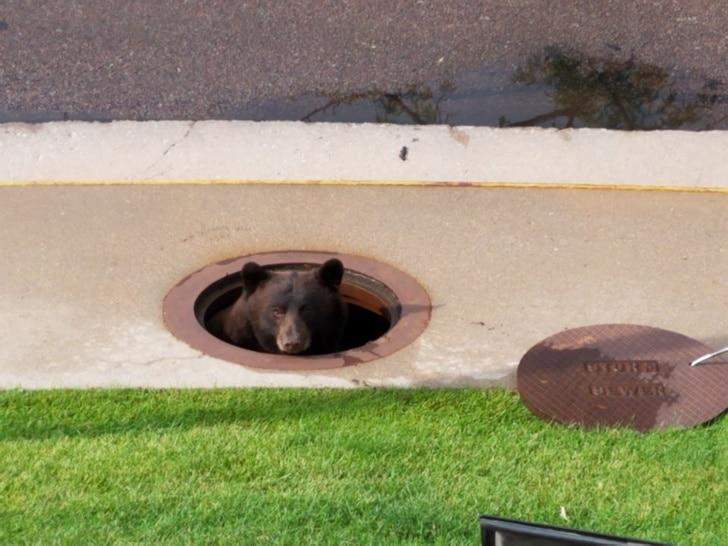 медведь в канализации