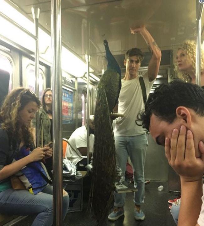 павлин в метро