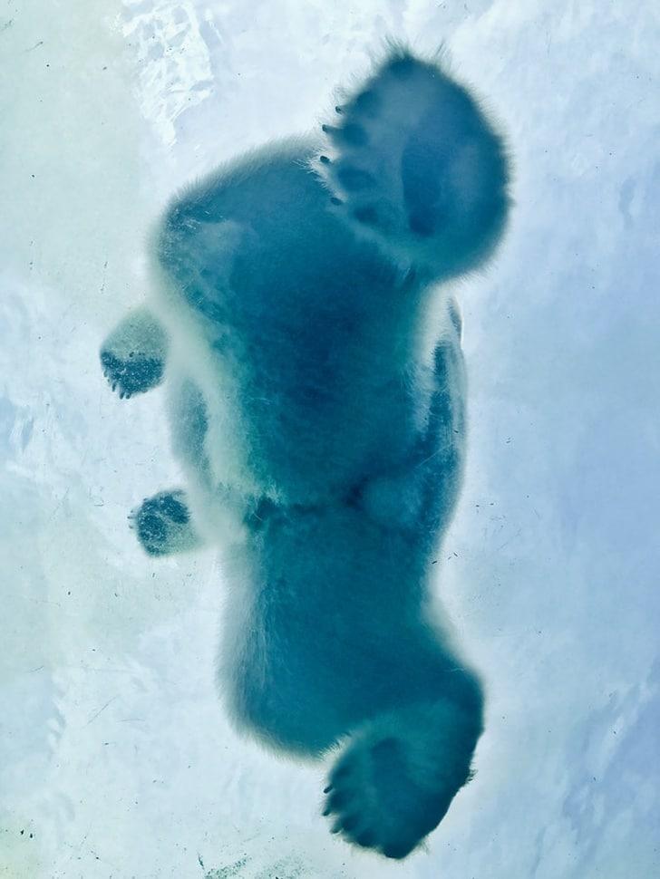 полярный шишка