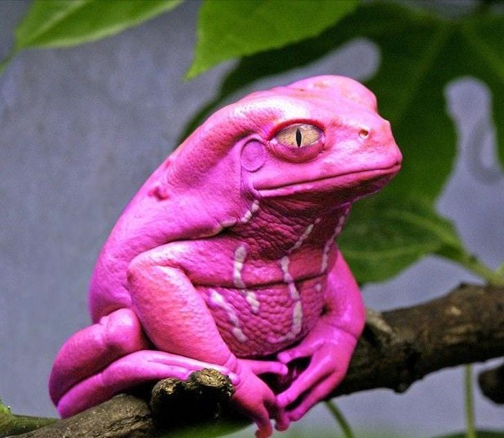 розовая лягушка