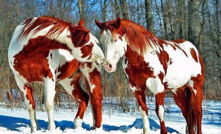 рыже-белые лошади
