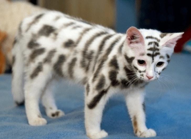 белый кот в черную полоску