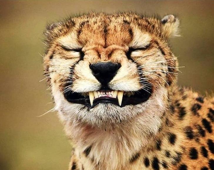 гепард скалится