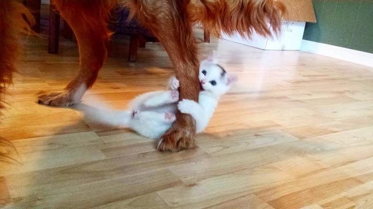 белый котенок кусает собаку за лапу