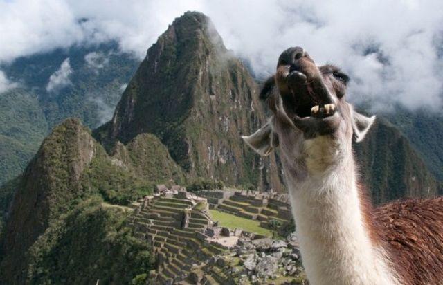 зевающая лама