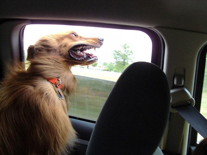 рыжая собака в окне машины