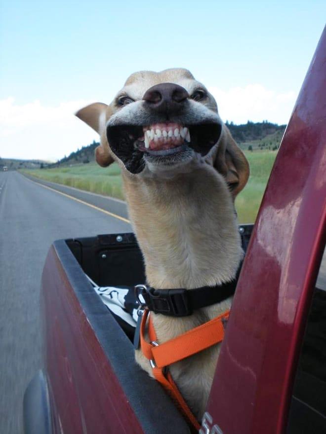 собака едет в автомобиле