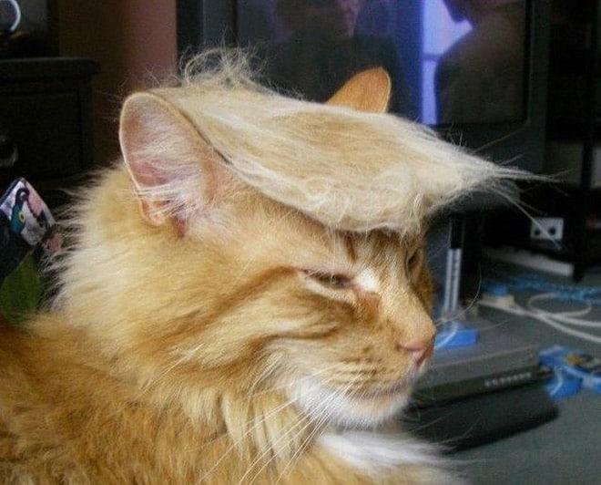 рыжий кот похожий на трампа