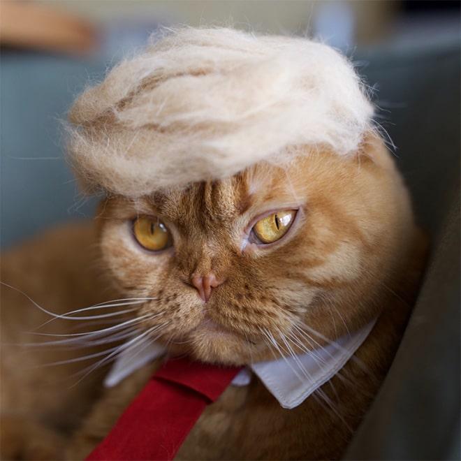 кот похожий на трампа