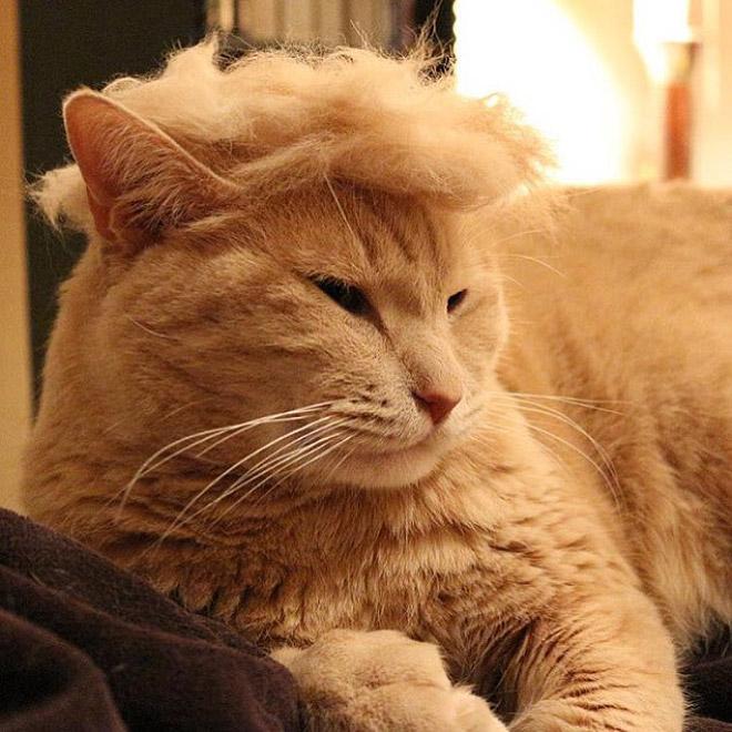 рыжий кот в парике