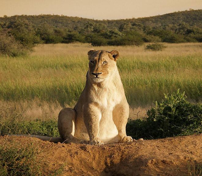 Толстая львица сидит