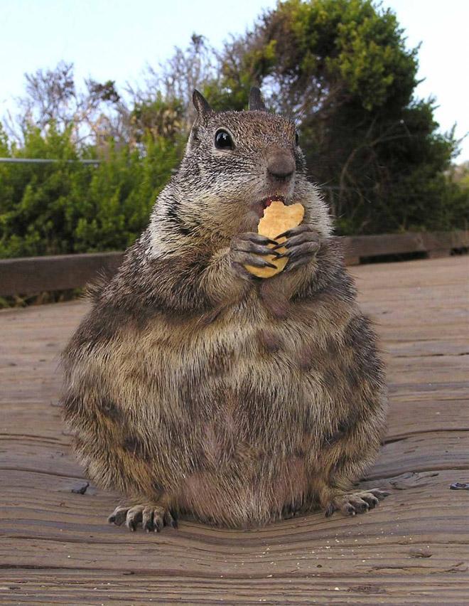 Толстая белка с едой
