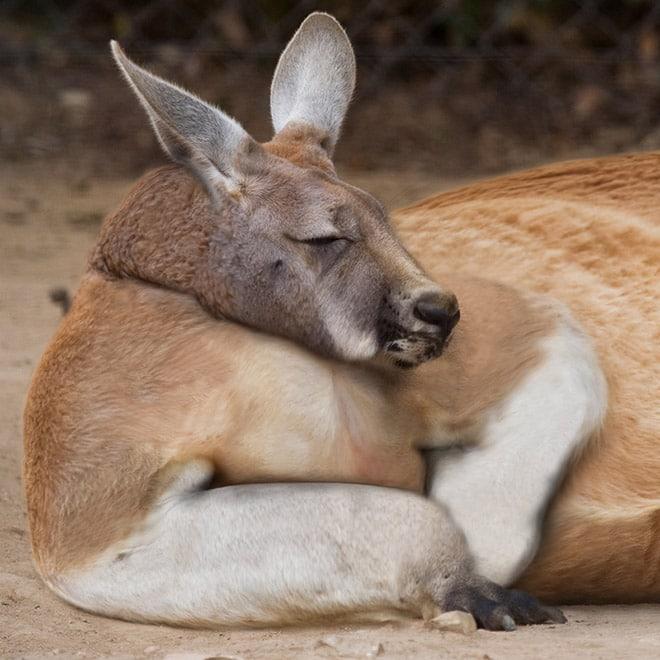 Толстый кенгуру спит