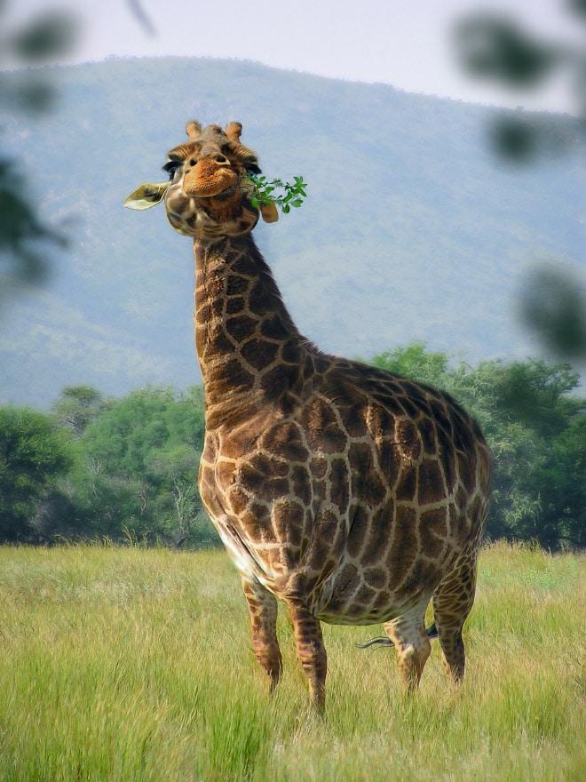 Толстый жираф ест ветки деревьев