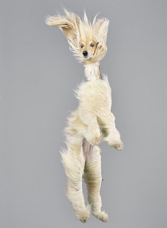 белая собака в полете