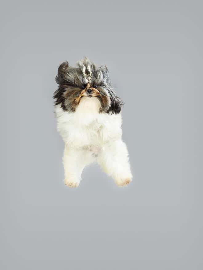 маленькая собака в полете