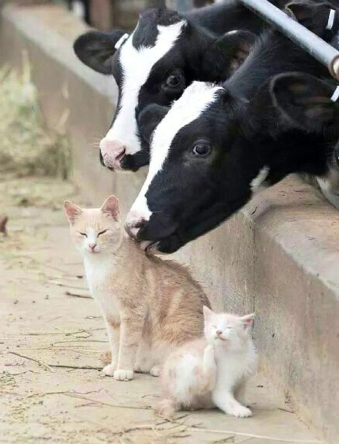 корова облизывает кота