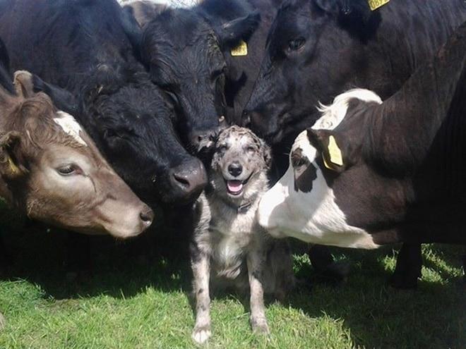 собака в окружении коров