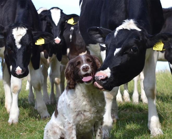 пес и коровы с высунутыми языками