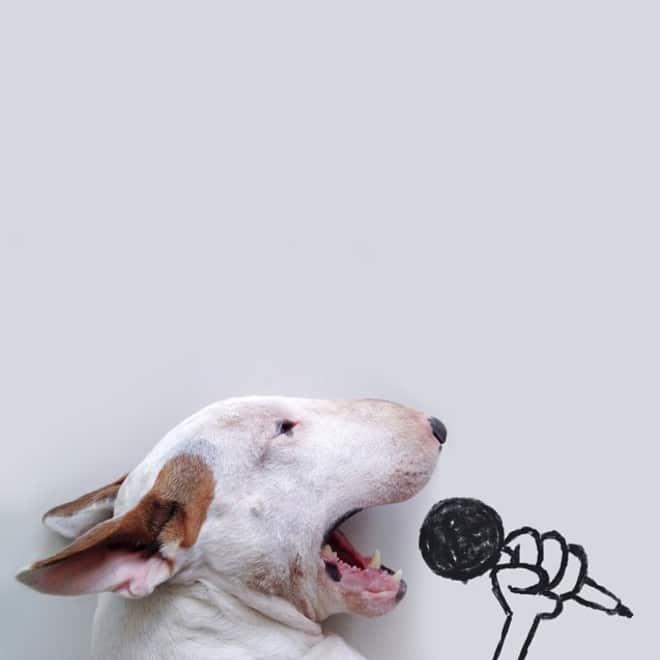 питбуль поет в микрофон