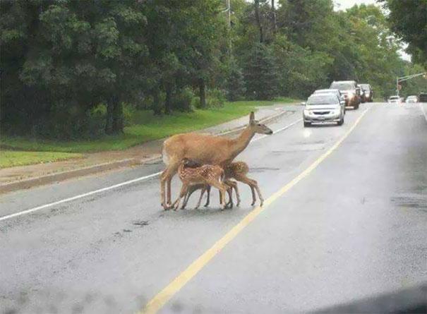 олениха и детеныши на дороге